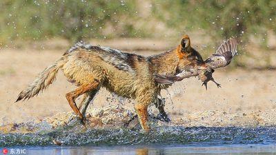Chó rừng Nam Phi phô diễn màn săn giết chim đỉnh cao