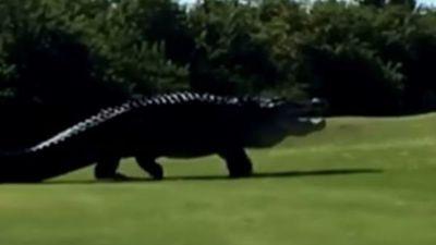 Cá sấu khổng lồ xuất hiện tại sân golf ở Mỹ