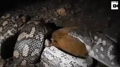 Mổ bụng trăn anaconda khổng lồ, phát hiện con trăn khác bên trong