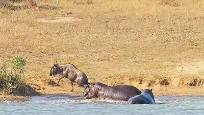 Hà mã cứu sống linh dương đầu bò khỏi hàm cá sấu châu Phi