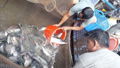2 tấn cá phóng sinh Phật tử vừa thả xuống, hàng chục ghe thi nhau vây bắt