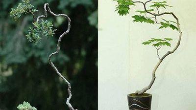 Đẹp hút mắt loạt bonsai dáng văn nhân đầy nghệ thuật