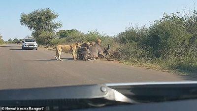 Đàn sư tử 'bắt nạt' trâu rừng ngay giữa đường