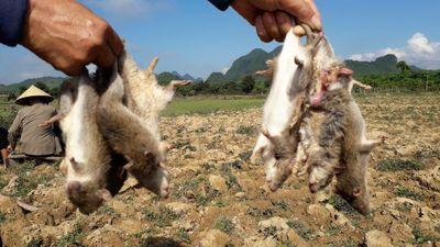Nông dân phải kéo nhau ra đồng diệt chuột vì không có 'mưa lũ'