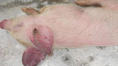 Clip: Bí quyết phòng và điều trị bệnh tai xanh ở lợn không hề khó
