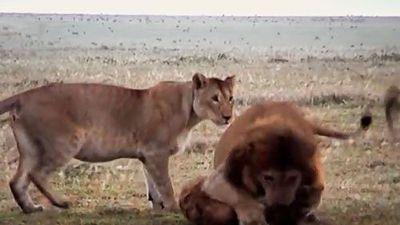 Clip: Đàn sư tử hợp sức tấn công linh cẩu