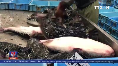 Nhật Bản cấm tiêu thụ cá nóc lai
