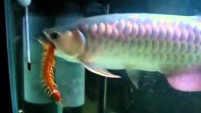 Clip: Rợn người xem cá rồng xơi tái rết khổng lồ