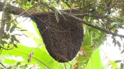 Tổ ong rừng cực 'khủng' diện tích gần 1m² trong vườn dừa
