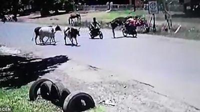 Đang phóng xe, một phụ nữ bị bò tung cước đạp bay lên trời