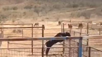 Màn nhảy vọt cao 2 mét đẹp mắt của chú bò