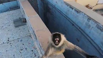 Khỉ giận dữ đuổi theo người vì bị lừa cho thức ăn