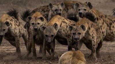 Sư tử kịp thời giải cứu đồng loại khỏi bầy linh cẩu gian manh