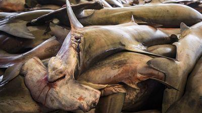 Rùng mình cảnh giết cá mập cắt vây, rồi lại...