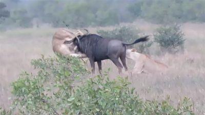 Linh dương đầu bò nổi điên quật ngã 2 con sư tử để thoát thân