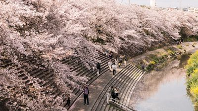 Điểm danh lịch anh đào nở trên từng vùng đất của Nhật Bản