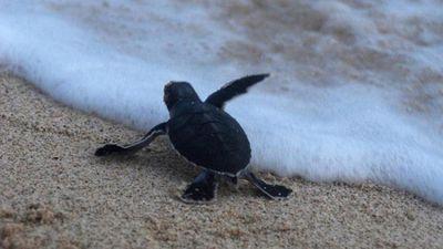 Xúc động trước hành trình tìm về biển cả của rùa con