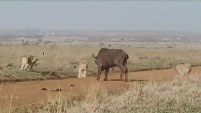 Trâu rừng 1 mình chiến đấu với đàn sư tử