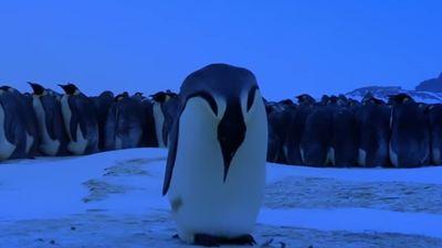 Ngậm ngùi cảnh đàn chim cánh cụt 'khóc thương' chim non chết vì lạnh