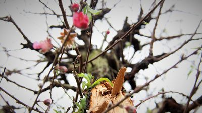 Người trồng đào lo mất Tết vì bị kẻ gian chặt phá