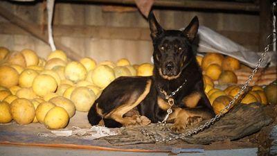 Clip: Những 'vệ sĩ' chó chống trộm đêm ở các vườn bưởi Diễn dịp Tết