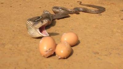 Bị chủ nhà bắt quả tang, rắn hổ mang oằn mình nôn trả 7 quả trứng