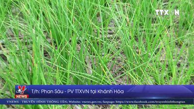 Khánh Hòa mất mùa kiệu Tết