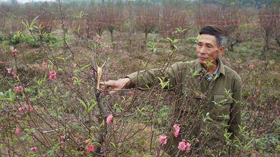 Xem bóng đá, sáng ra nông dân Bắc Ninh sững sờ vì hàng trăm gốc đào bị chặt nát