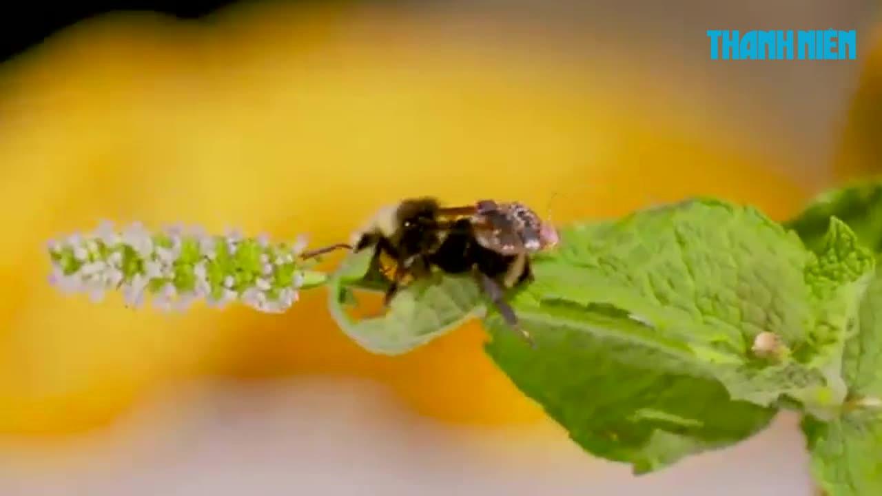 Dùng ong 'đeo ba lô' giám sát nông nghiệp