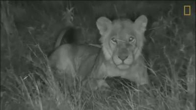 Bị sư tử tấn công, tê tê cuộn tròn nằm im khiến kẻ thù bất lực