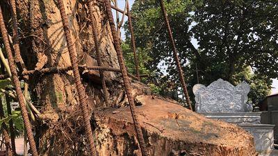 Thực hư chuyện trưởng thôn bị tố cưa trộm cây sưa trăm tỉ ở Hà Nội