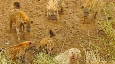 Sư tử bị bầy linh cẩu dồn vào đường cùng và màn giải cứu ngoạn mục