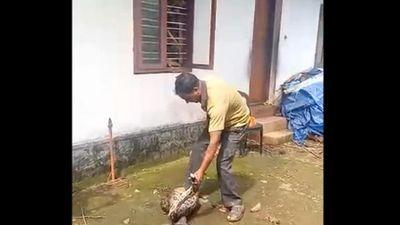 Thót tim xem người đàn ông đạp bụng trăn bắt nhả gà