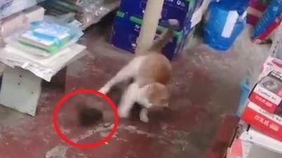 Clip: Chuột hung hăng rượt mèo chạy té khói