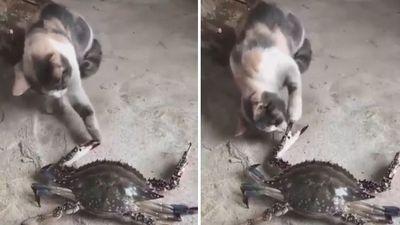 Dại dột chọc giận cua, mèo nhận cái kết đắng lòng