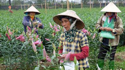 Thời tiết thất thường, nông dân Tây Tựu chán nản bán hoa ly nở sớm