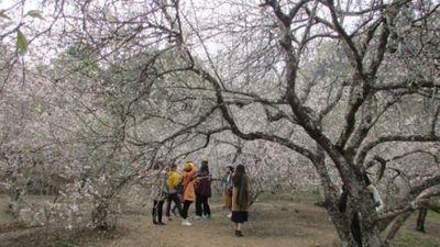 Ảnh, Clip: Ngất ngây mùa hoa mơ trắng tinh khôi ở Mộc Châu