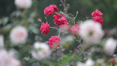 Lạc lối trong vườn hồng lớn nhất Việt Nam, một lần nở hàng triệu bông