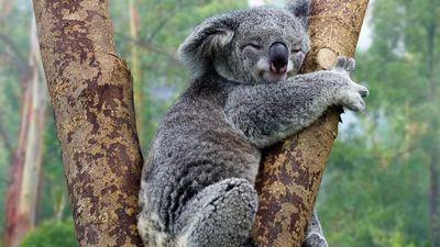Gấu túi koala có nguy cơ tuyệt chủng vì tốc độ mất rừng ở Úc