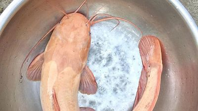Lộc trời năm mới: Cá trắm dài 1 mét, cá trê vàng triệu con có 1