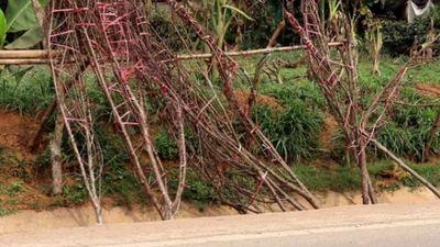 Sau Tết, đào rừng không ai mua thành củi, rác trên đất Tây Bắc