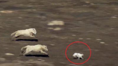 Cuộc rượt đuổi siêu kịch tính khi chó sói săn thỏ rừng