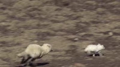 Nghẹt thở cuộc rượt đuổi siêu kịch tính khi chó sói săn thỏ rừng