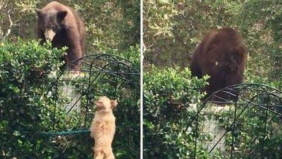 Gấu nâu khổng lồ cuống cuồng bỏ chạy vì bị… chó đuổi