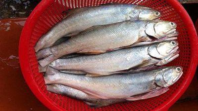 Sự thật thú vị về cá nhụ 'đệ nhất đặc sản biển'