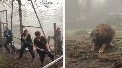 Vườn thú Anh cho khách kéo co với hổ và sư tử