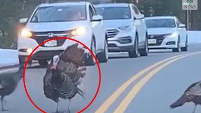 Chú gà tây chặn đường không cho xe di chuyển để cả bầy qua đường