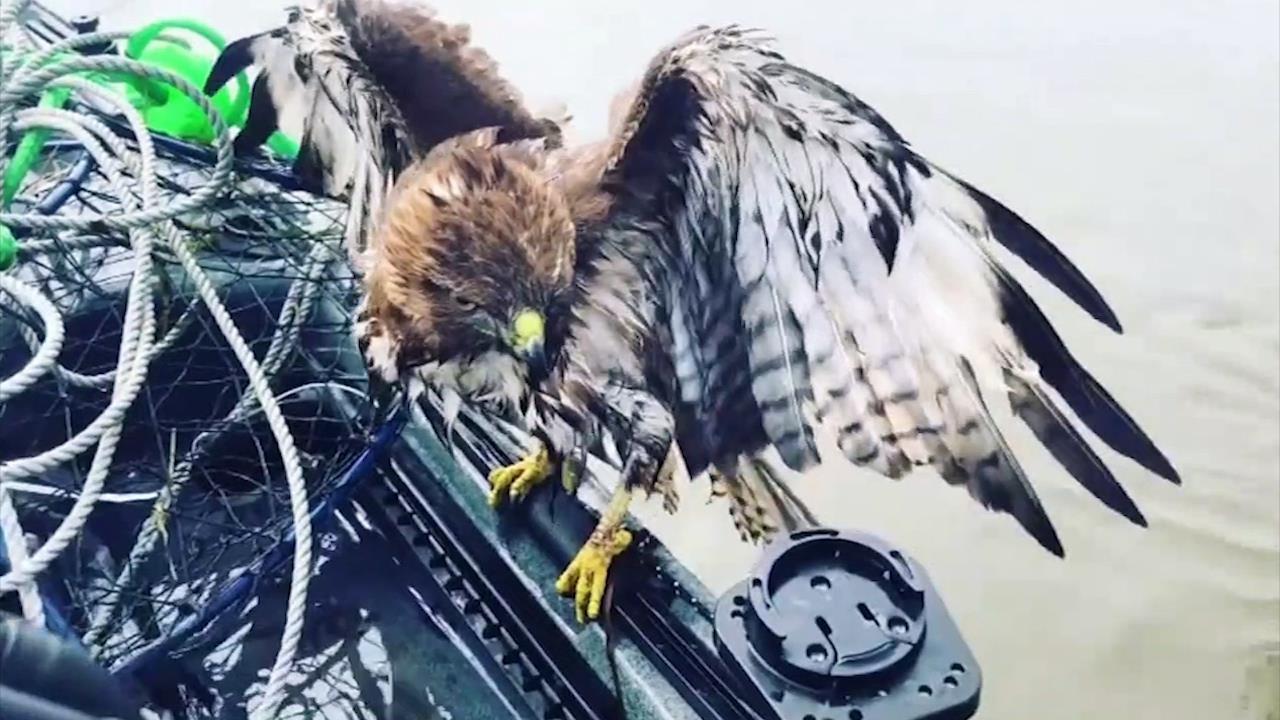 Ngư dân Mỹ giải cứu diều hâu rơi xuống nước