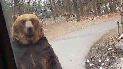 Gấu thong thả đi bằng hai chân đứng thẳng như người