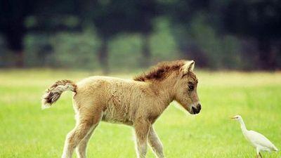 CLIP: 'chuyện lạ' giống ngựa tí hon cực dễ thương và thông minh